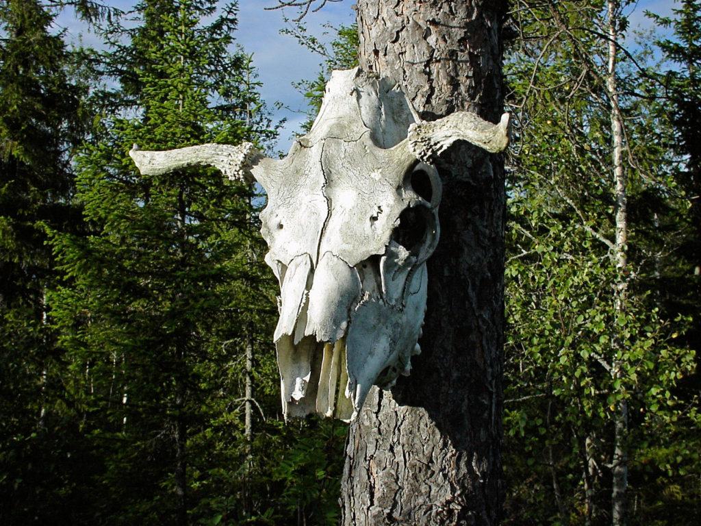 cow skull in tree